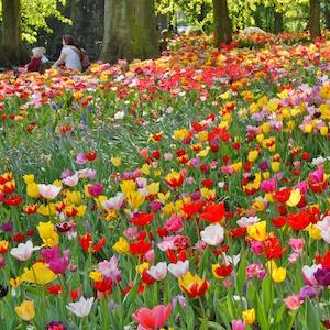 Tulpen, Greenery, Frühling